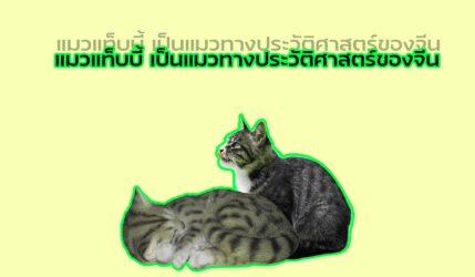 แมว แท็บบี้เป็นแมวทางประวัติศาสตร์ของจีน